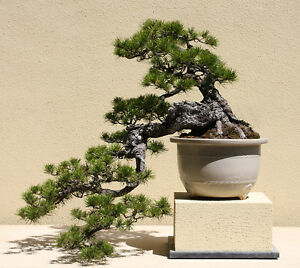 image is loading lodgepole pine seeds pinus contorta 30 seeds amazing