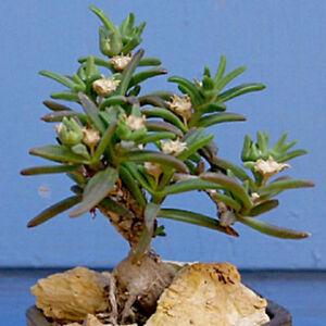 Delosperma-Napiforme-mestoklema-macrorrhizum-bonsai-mesemb-plant-seed-50-SEEDS