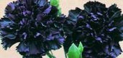 30+ KING OF BLACKS CARNATION FLOWER SEEDS / PERENNIAL