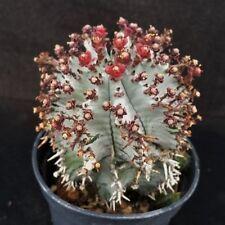EUPHORBIA HORRIDA HIBRID CACTUS CACTI SUCCULENT REAL LIVE PLANT