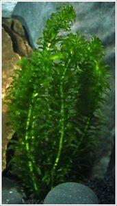 Plante d'aquarium : 11 élodée