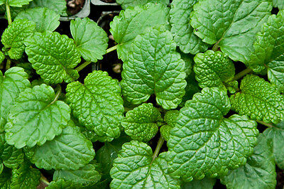 HERB  LEMON BALM MELISSA OFFICINALIS  2000 SEEDS