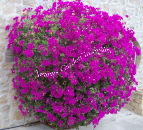 5 Kopfstecklinge Bougainvillea leuchtend violett aus dem Garten Spaniens