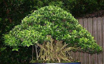 Exotische Früchte: Feigenbaum Ficus altissima für das Zimmer // Neue Samen ...