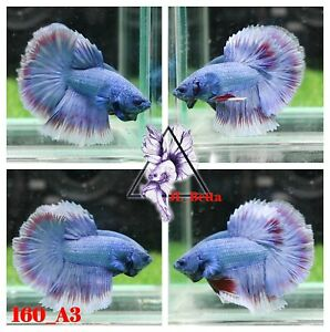 [160_A3]Live Betta Fish High Quality Male Fancy Over Halfmoon 📸Video Included📸