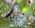 Hummingbird / Bird 8 x 10 / 8x10 GLOSSY Photo Picture IMAGE #7