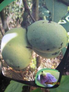 Asimina triloba Allegheny - Veredelte Indianerbanane Allegheny Paw Paws