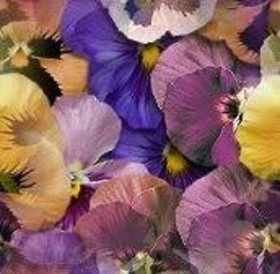 250 SWISS GIANT MIXED PANSY Viola Violet Flower Seeds
