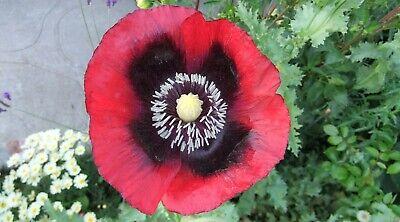 200 Organic JIMI/'S FLAG POPPY Scarlet Red Lavender /& Purple Papaver Flower Seeds