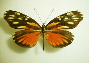 DISMORPHIA-EUNOE-DESINE-female-Costa-Rica