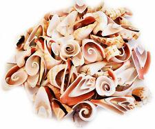 1 Lb of Multi Cut Lambis Shells Beach Cottage Wedding Decor Vase Filling