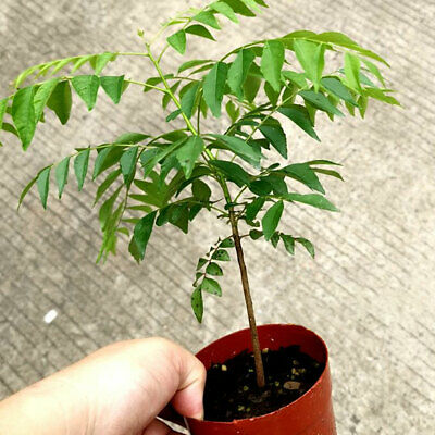 100PCS CURRY LEAF TREE SEEDS PETTED CULINARY HERB PLANT OUTDOOR YARD DECOR NICE