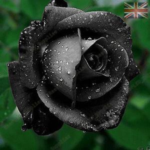 Rare-Black-Rose-Flower-Seeds-Garden-Plants-UK-Seller-10x-Viable-Seeds