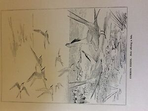 m3e-ephemera-book-plate-roland-green-birds-common-terns