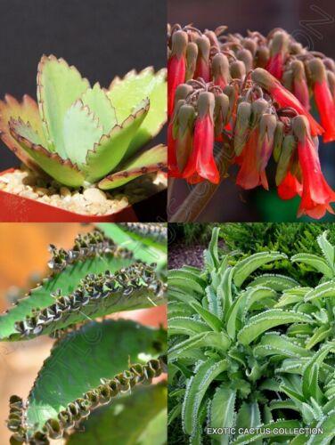 Kalanchoe daigremontiana RARE mère de mille chapeau mexicain Plante Graines 15 graines
