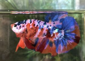 Betta Fish Giant Super Galaxy Nemo High Quality (located In FL)
