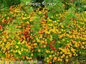 Signet-Calendula-Gem-mixto-600-semillas-Tagetes-tenuifolia-Bueno-Para-Balcon