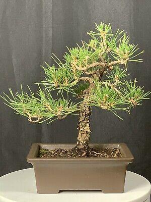 Japanese Black Pine Bonsai Tree Ebay