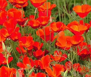 CALIFORNIA-POPPY-RED-CHIEF-Eschscholzia-Californica-15-000-Bulk-Seeds