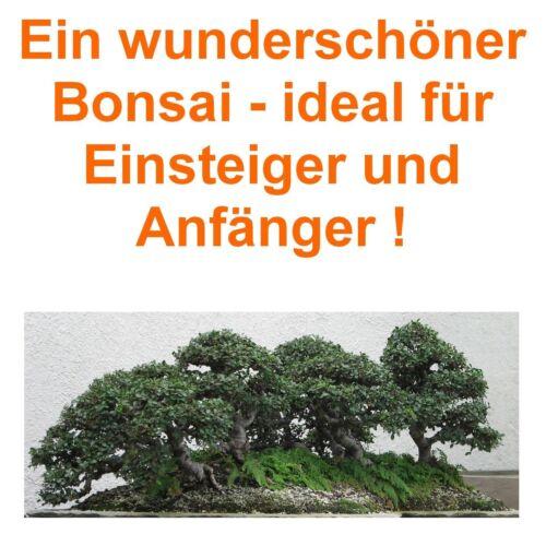 ULME !i  winterhart pflegeleicht für die Bonsaizucht geeignet. Garten Bonsai i