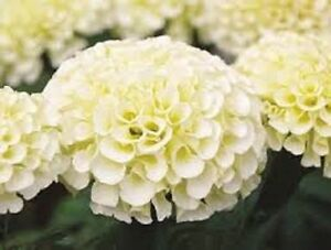35 american marigold eskimo white annual flower seeds ebay image is loading 35 american marigold eskimo white annual flower seeds mightylinksfo