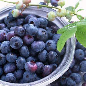 30 StückSüße Blueberry Seeds Shortbush Fruchtgemüsesamen Northblue
