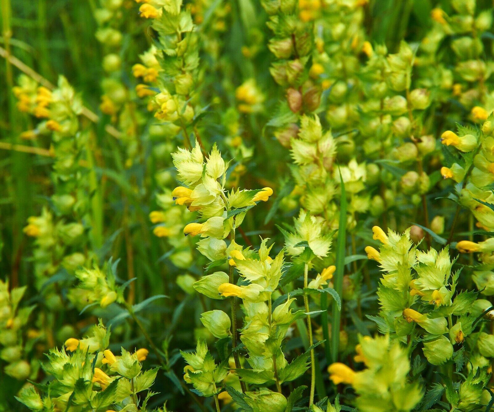 300 x Yellow Rattle Seeds Rhinanthus minor Flower British Wild Flower
