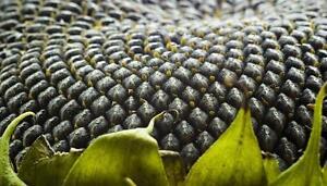 American-Sunflower-Helianthus-annuus-15-Finest-Seeds-UK-Seller