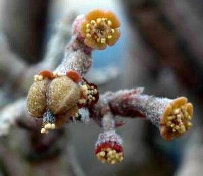 Euphorbia platyclada, exotic rare succulent cactus caudex cacti seed 10 SEEDS