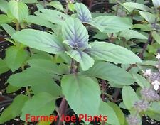 BASIL - AFRICAN BLUE - GREAT FOR COOKING - 6 LIVE PLANTS - PLUGS