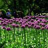 10Pcs Purple Giant Allium Giganteum Flower Seeds Plant Outdoor Garden Yard Decor