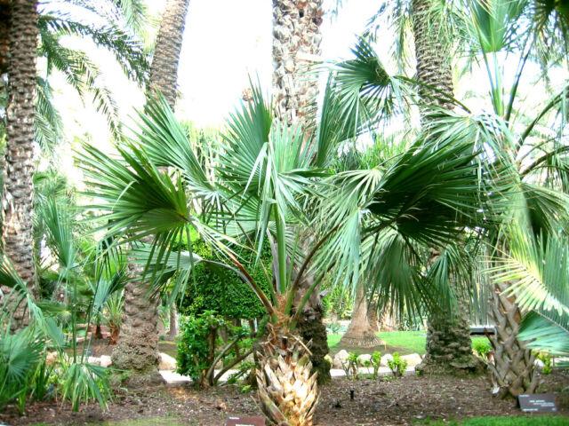 10 graines Sabal minor-Dwarf Palmetto