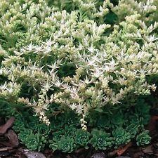 Sedum Cliff Stonecrop Succulent Seeds (Sedum Glaucophyllum) 50+Seeds