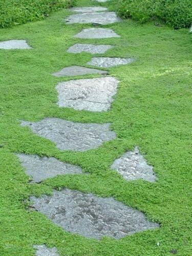 5000 Irish Moss graines en vrac-Sagina Subulata-merveilleux couvre-sol!