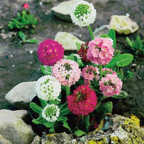 Primula-denticulata hybrides mixte 50 graines