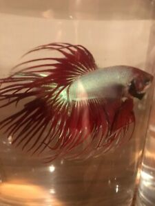 Red-Neon Crowntail Betta Male