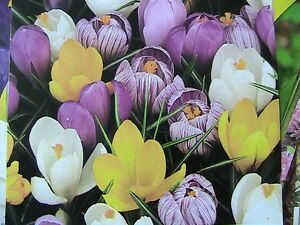 100-EARLY-FRAGRANT-CROCUS-BULBS-MIXED-COLOURS-POSTAGE-FREE