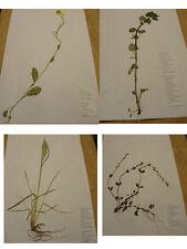 1 Pflanze,Herbarium,unter 878 Pflanzen ohne Wurzeln,Forst, PTA, Schule, Uni, Neu