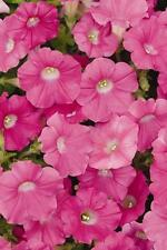 Petunia Shock Wave Rose Pelleted Seeds