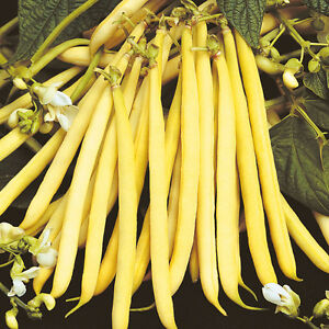 VEGETABLE-DWARF-YELLOW-FRENCH-BEAN-ROCQUENCOURT-100-FINEST-SEEDS