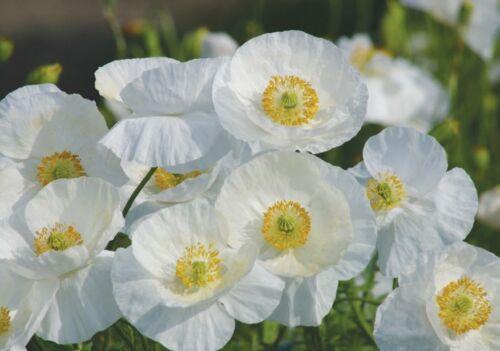 Fleur de maïs Coquelicot Papaver Rhoeas White Bridal Soie 2 g VRAC