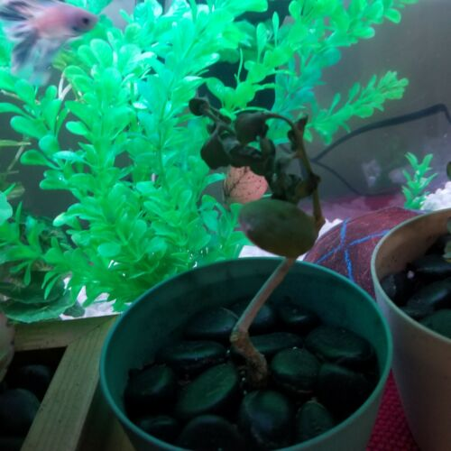 RARE JATROPHA GOSSYPIFOLIA @J@ succulents carnivorous plant seed 200 SEEDS