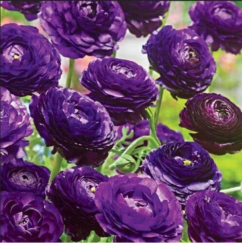 Unique Purple Ranunculus Bulbs Delicate Flowers Plant Fresh Rhizomes Impressive