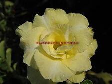 "NEW !!ADENIUM OBESUM DESERT ROSE ""GOLD SNOW"" 2 GRAFTED PLANTS RARE FRESH!!"