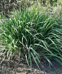 Citronella-Zitronengras-Gras-Zitrone-Cymbopogon-Flexuosus-400-Saatgut-Frische