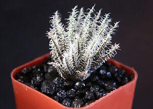 Aloe-haworthioides-var-haworthioides-rare-succulent-plant-cactus-miniature-2-034