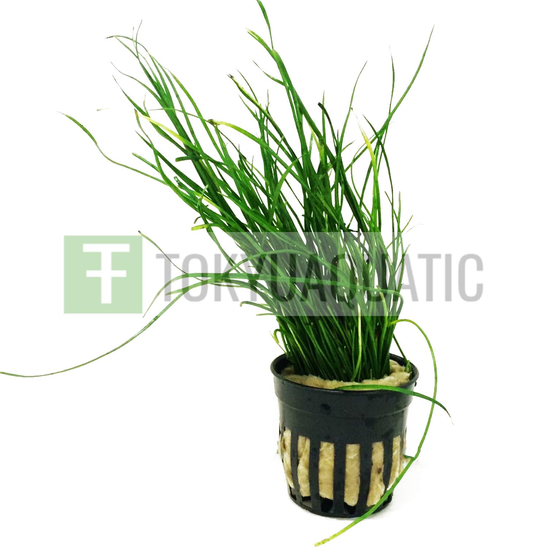 Isoetes Vetata Varsicula Bunch Carpet B2G1 Live Aquarium Plants Decorations Tank