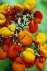 Calceolaria-039-Kentish-Hero-039-Unusual-Container-Rockery-Perennial-Plant-in-9cm-Pot