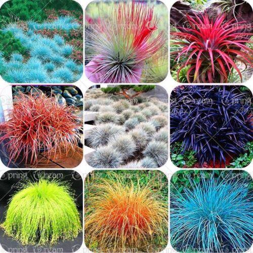 100pcs//bag Blue Fescue Grass Seeds perennial hardy ornamental so easy to grow gr