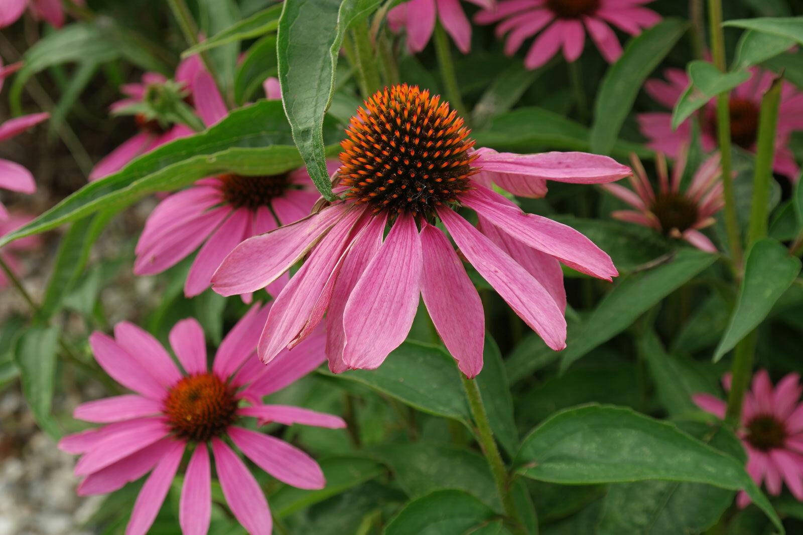 ECHINACEA PURPUREA HERB SEEDS Medicinal and Beautiful Wildflower